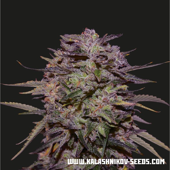 Purple Russian Express